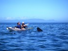Sea-kayak Arisaig Basking shark visiting
